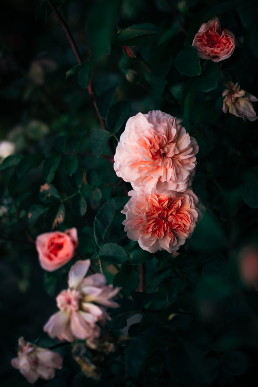 rhubarb and roses 4431 (1 of 1).jpg