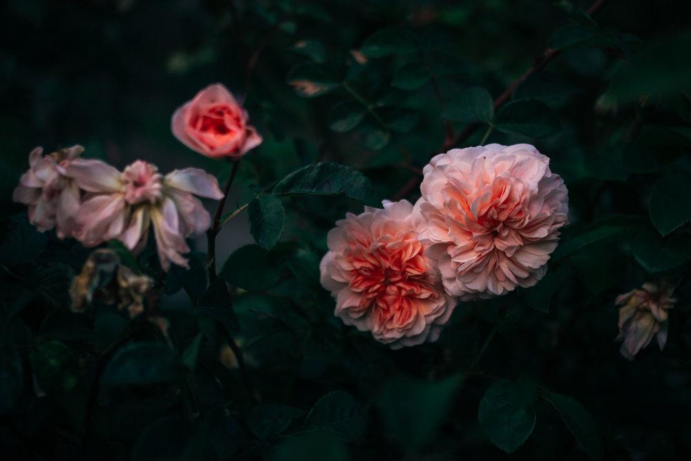 rhubarb and roses 4433 (1 of 1).jpg
