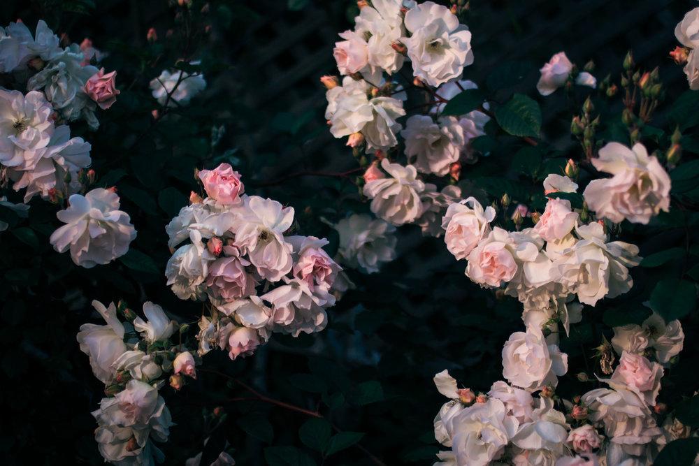 rhubarb and roses 4377 (1 of 1).jpg