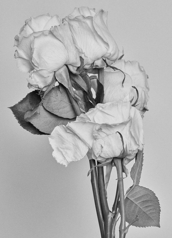 Rose0845.jpg