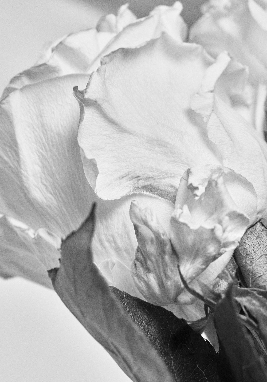 Rose0925.jpg