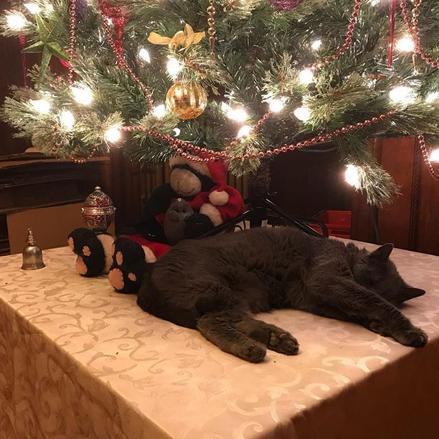 Cats under the #christmastree. One is #live , one is #memorex. #happyholidays #catsofinstagram #russianblue