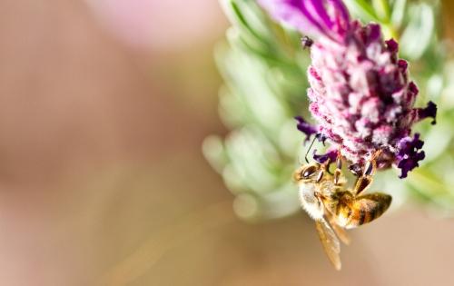 beeMacro_lavender-8.jpg