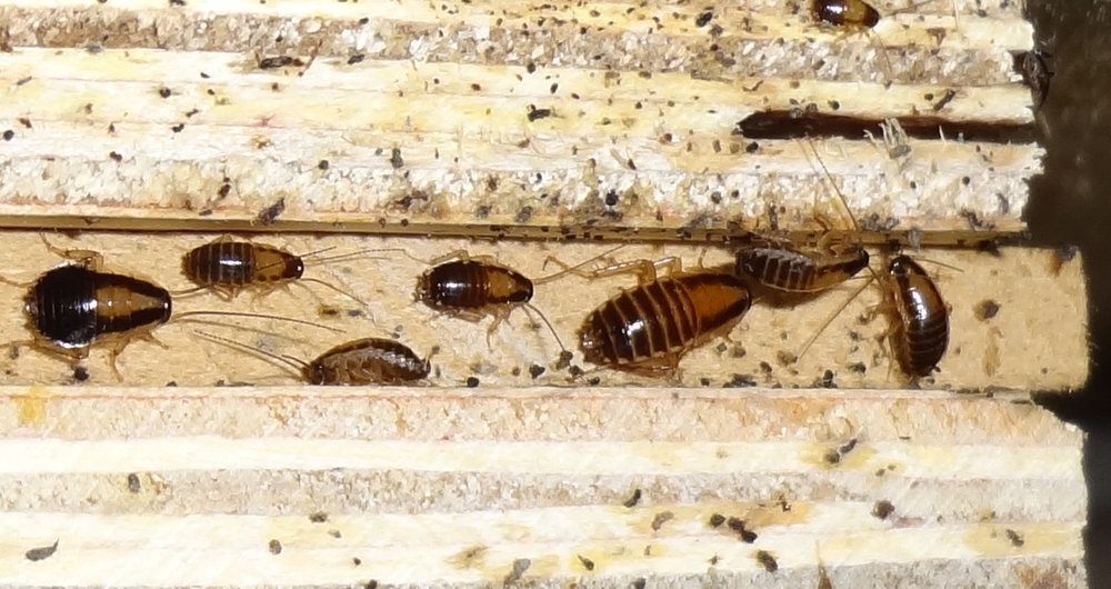 Stop-Buggn-Pest-Control-German-Cockroach-Habitat.jpg