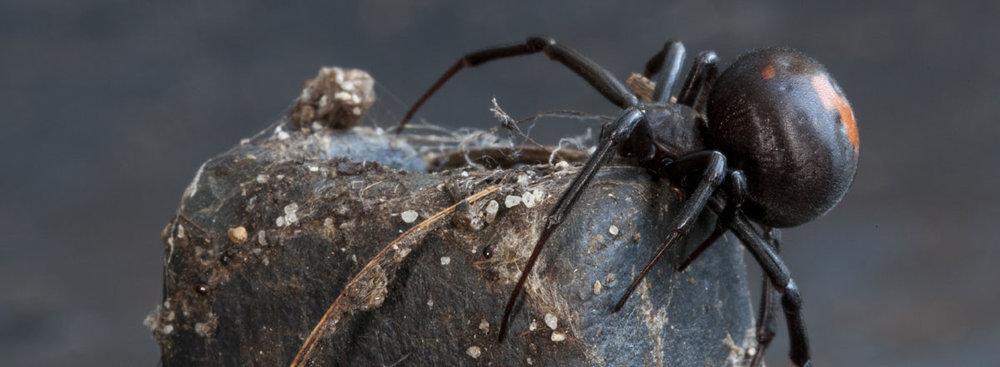 main_redback-spider-banner.jpg