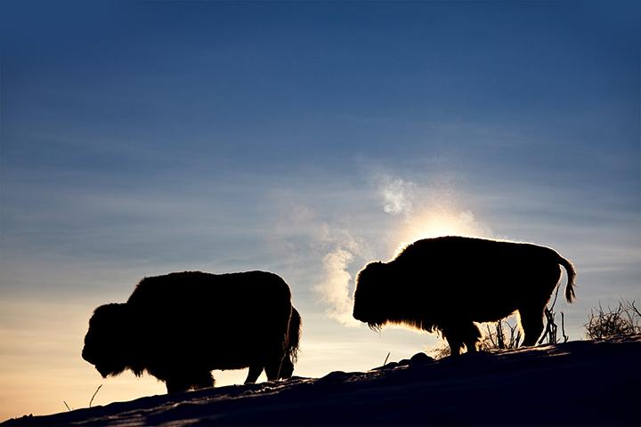 Calgary_Bison.jpg