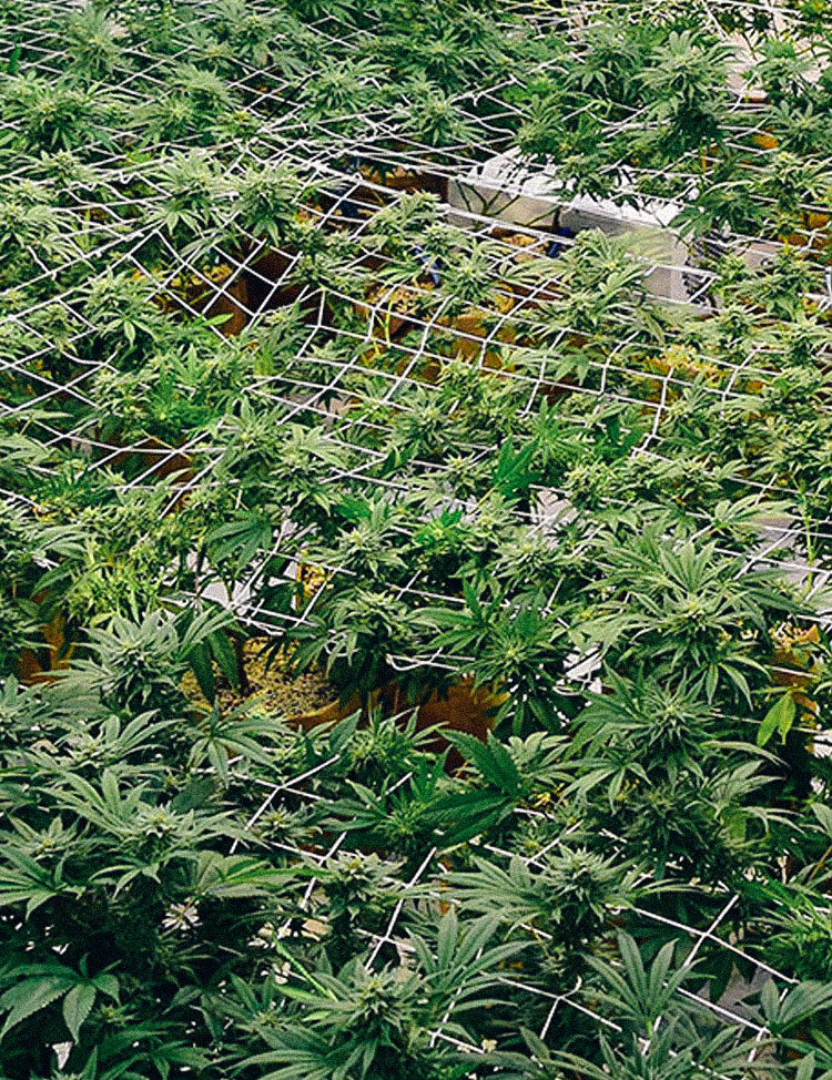 THE FLOWER COLLECTIVE A Hybrid Garden Growing Willie Nelson's Stash