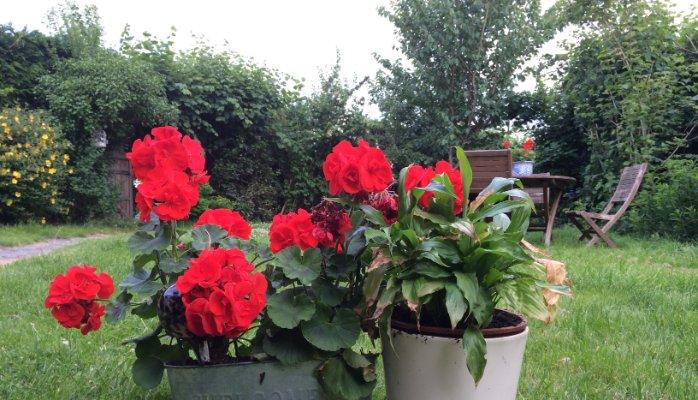 Garden with geraniums.jpg