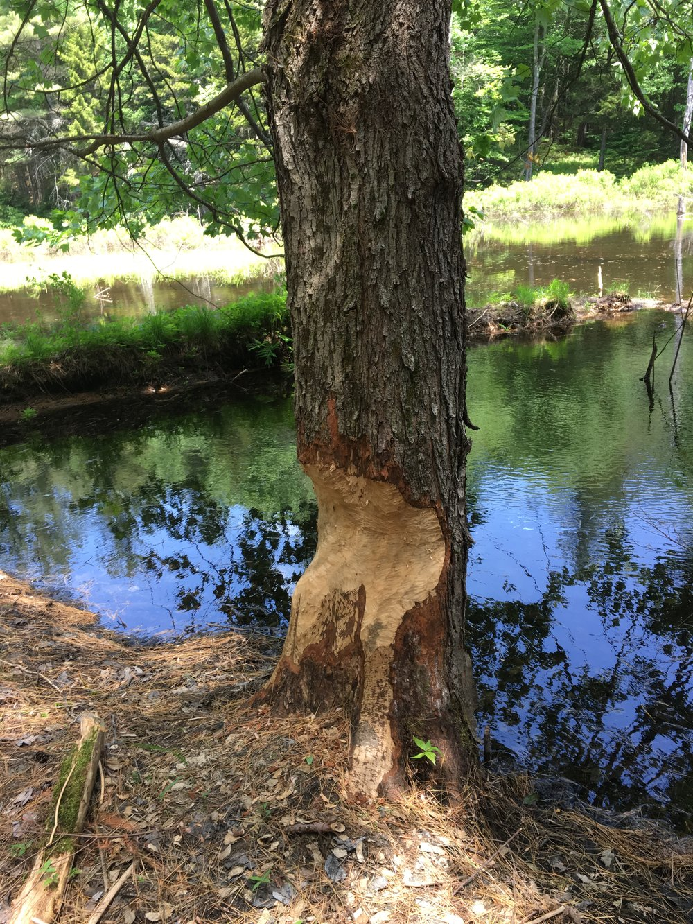 Beaver Tree.JPG