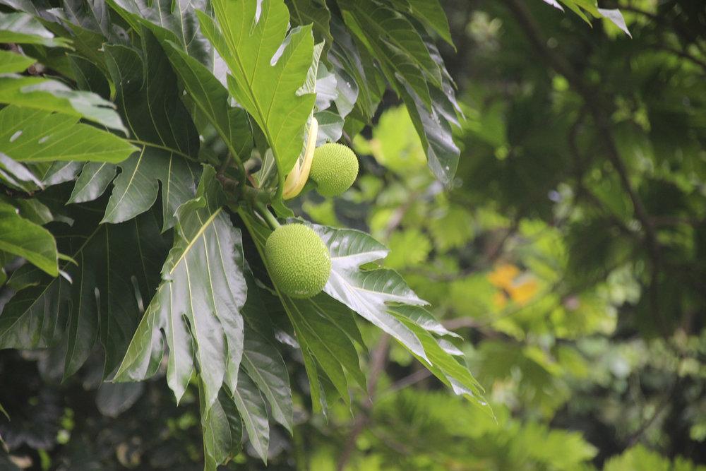 © Te Mana Travels — Breadfruit tree