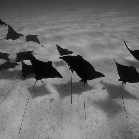 eagle rays.jpg