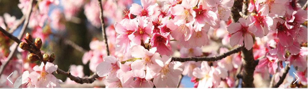 2019-03-10_2019-Cherry-Blossom-Rectangle.jpg