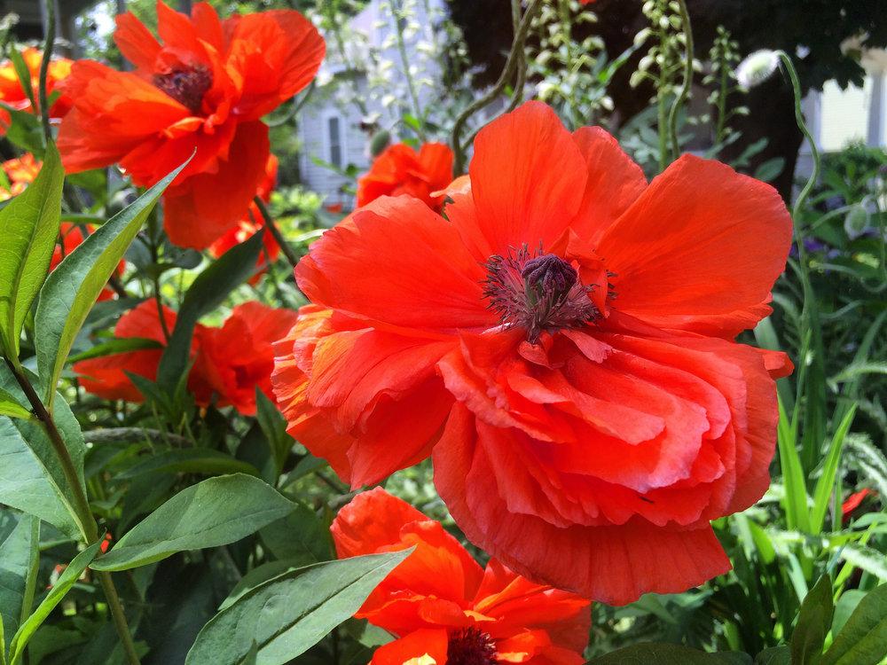 060116_Poppies .jpg
