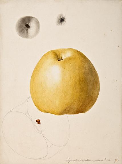 "Anthelme-Eugène Grobon (1820 Lyon - 1878 Grigny/Rhone), Apple: Imperatrice josephine - formier, 24 8bre 1858, pencil and watercolor on paper,14 x 9 1/2"""