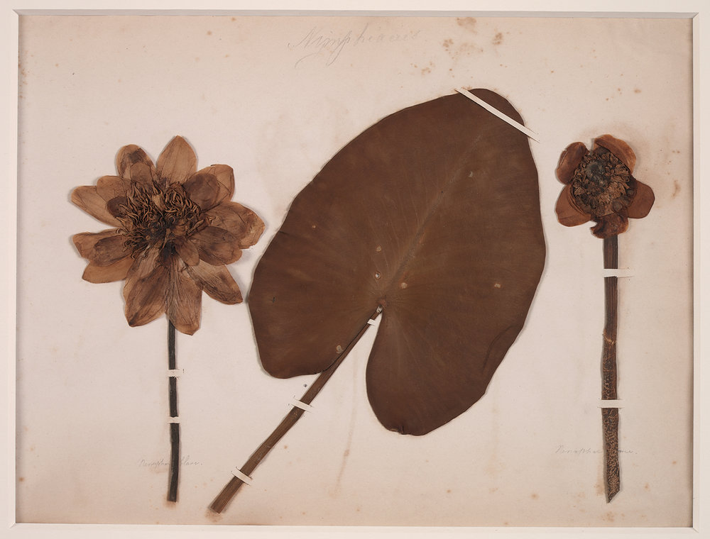 French, 19th century,  Herbaria: Nymphéacées (Water Lily),  dried plant on paper, 18 x 20""