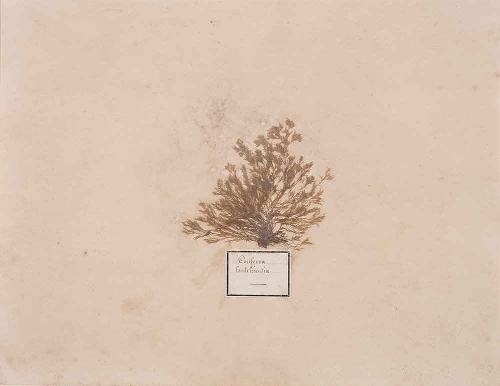 French, 19th century,  Herbaria: Conferva Hutchinsia,  dried plant on paper, 18 x 20""
