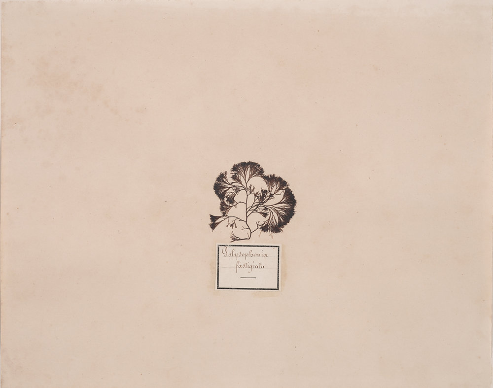 French, 19th century,  Herbaria: Polysophonia Fastigiata,  dried plant on paper, 18 x 20""