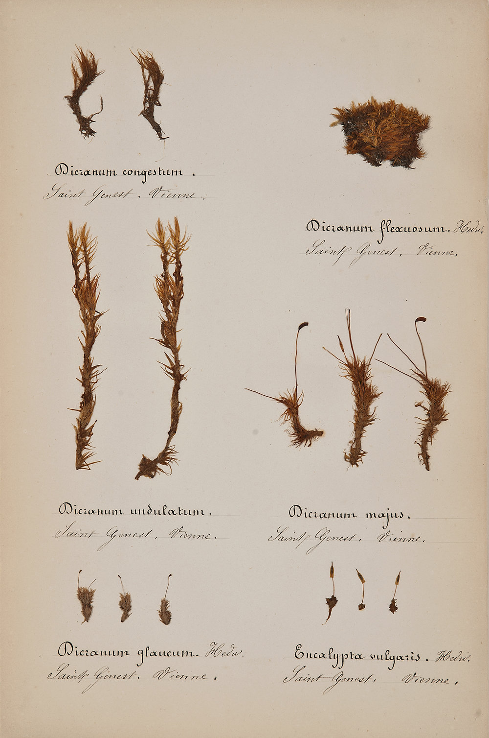 French, 19th century,  Herbaria: Mosses 2,  pressed specimens on paper, 16 3/4 x 12 3/4""