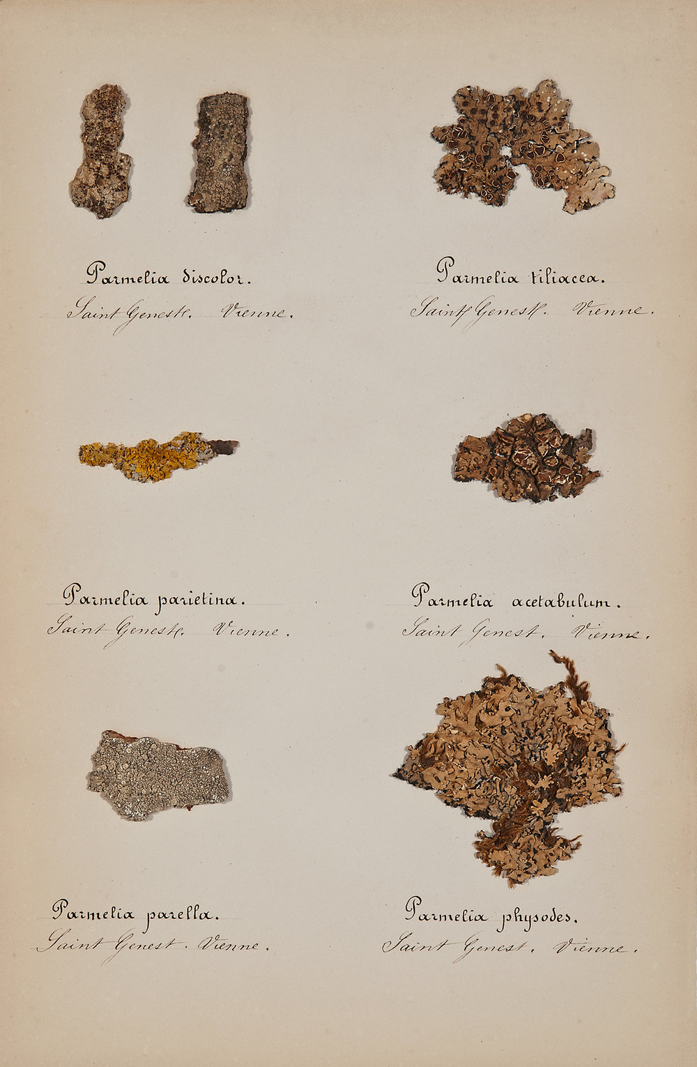 French, 19th century,  Herbaria: Mosses 4,  pressed specimens on paper, 16 3/4 x 12 3/4""