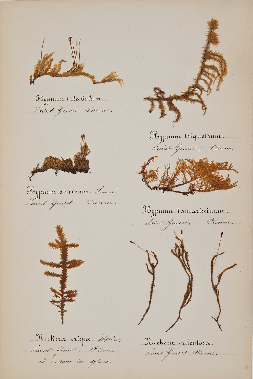 French, 19th century,  Herbaria: Mosses 6,  pressed specimens on paper, 16 3/4 x 12 3/4""