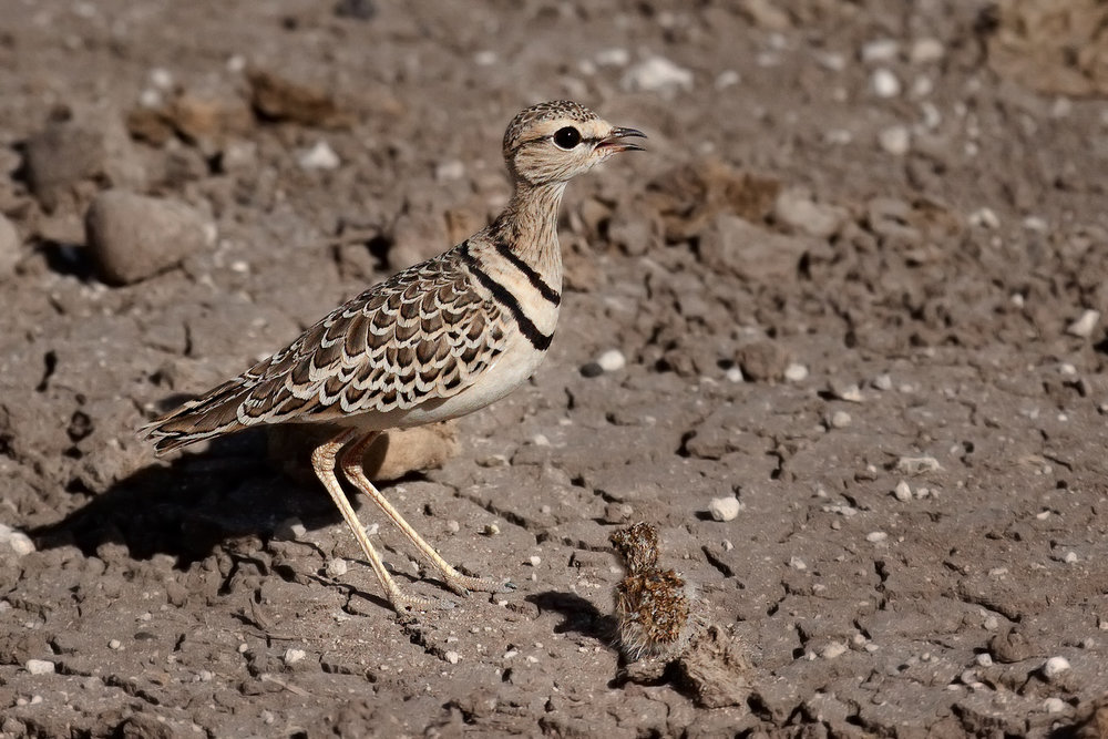 Two-bandedCourser and Chick.jpg