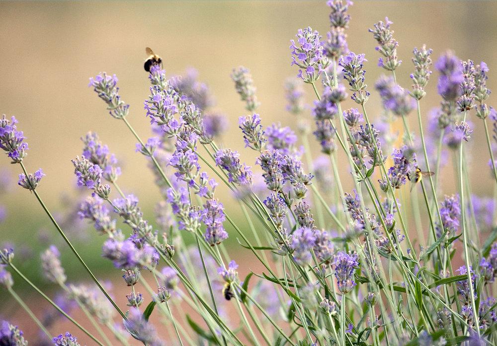 Copy of Lavender1.jpg