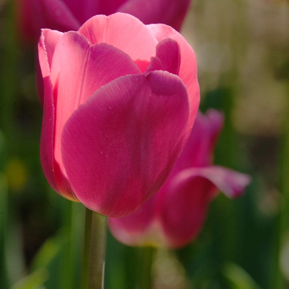 Sherwood06 Tulip2 10x10.jpg