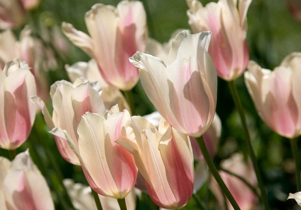 Sherwood06 tulips.jpg