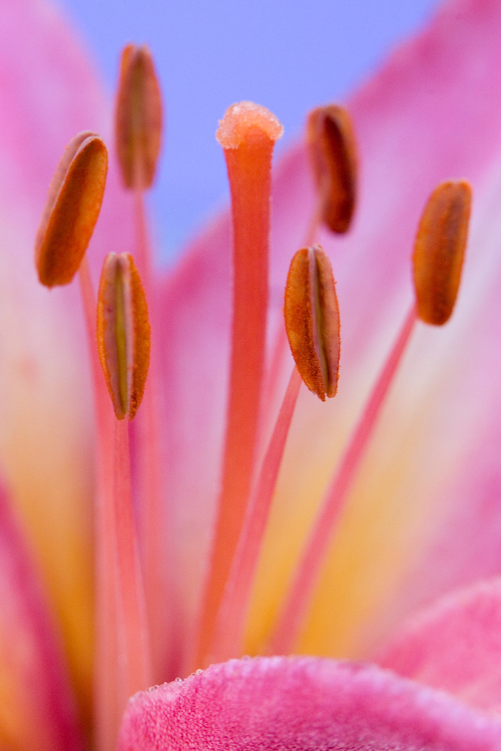 Lily Abstract 2.jpg