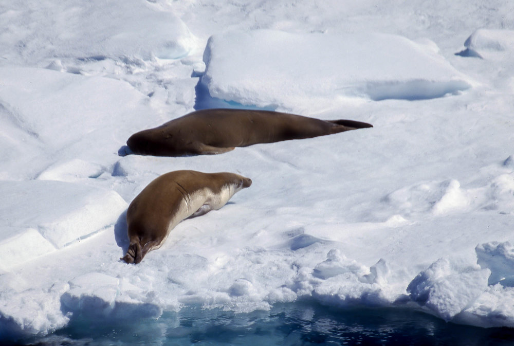 Bransfield Strait Lepoard Seals.jpg