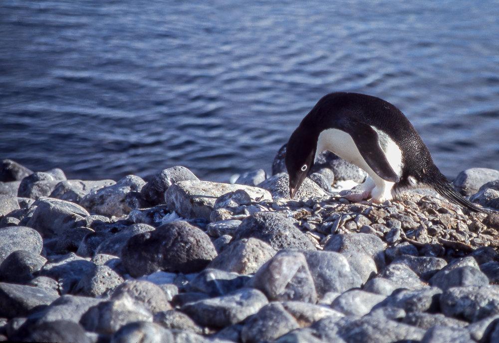 Adelie  Paulet Island.jpg