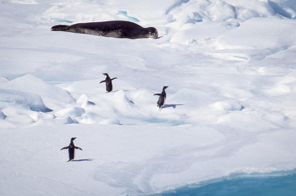 Bansfield Strait Leopard Seal.jpg