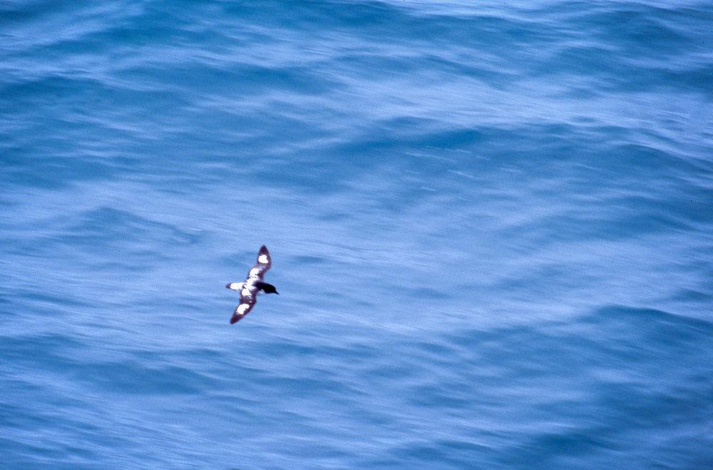Cape Petrel.jpg