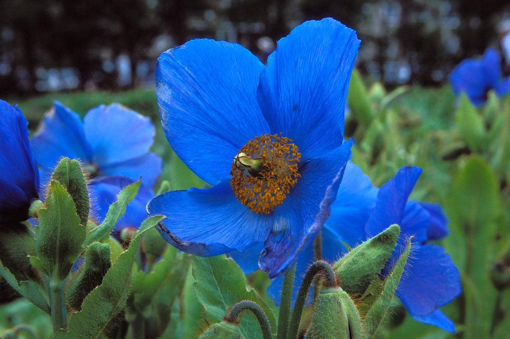 BlueFlower1a.jpg