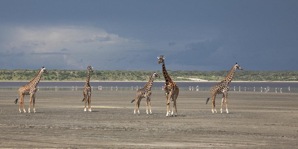 Giraffes and Approaching Storm.jpg