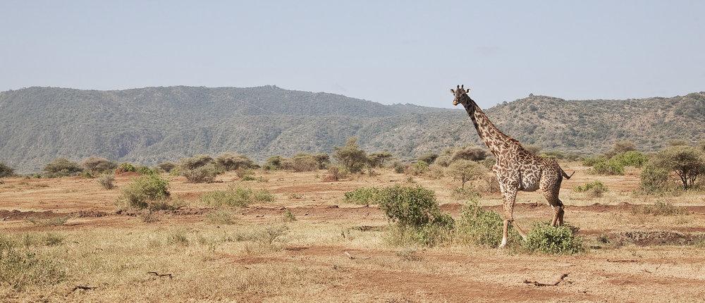 Giraffe in Arusha Park.jpg