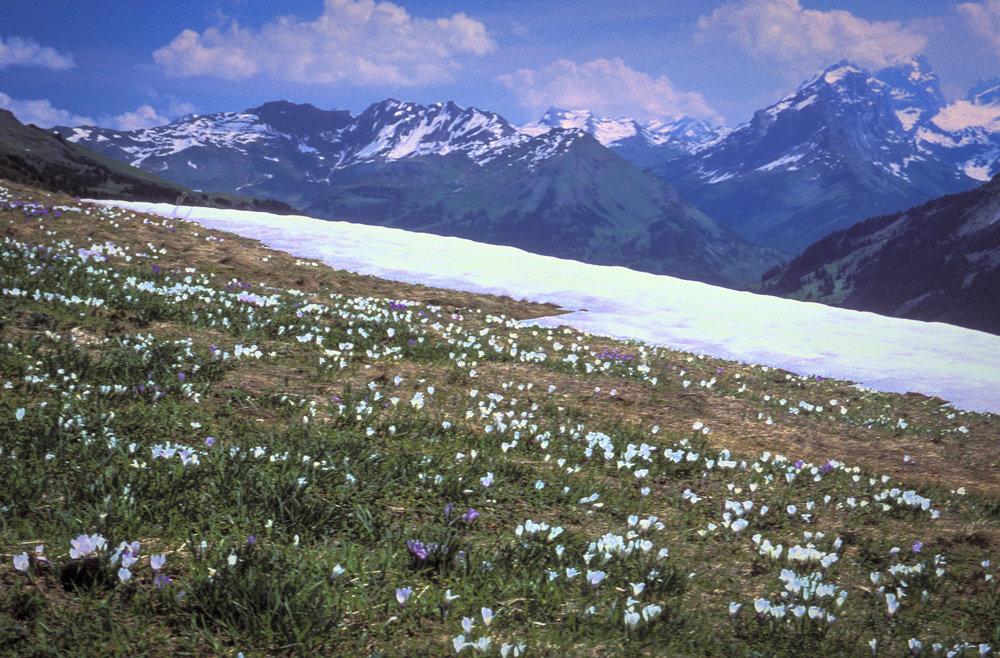 Alps&WhiteCrocus.jpg