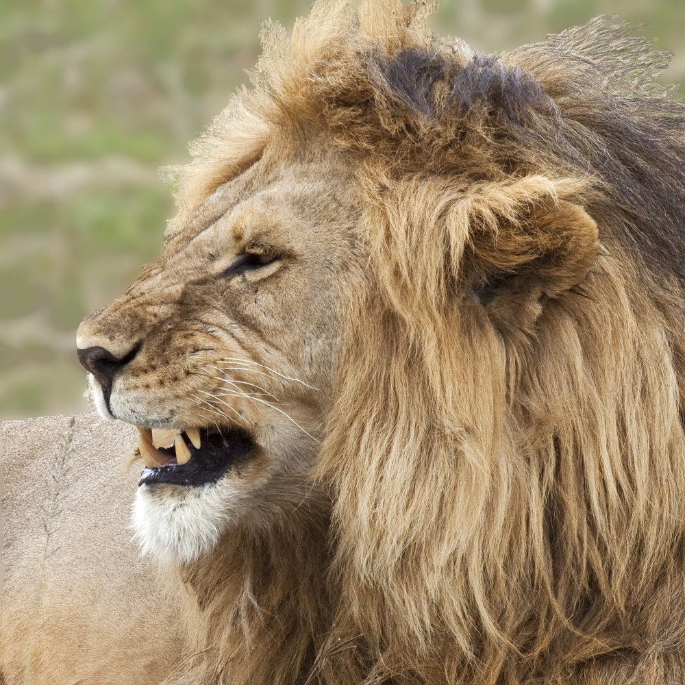 LionWithAttitude.jpg