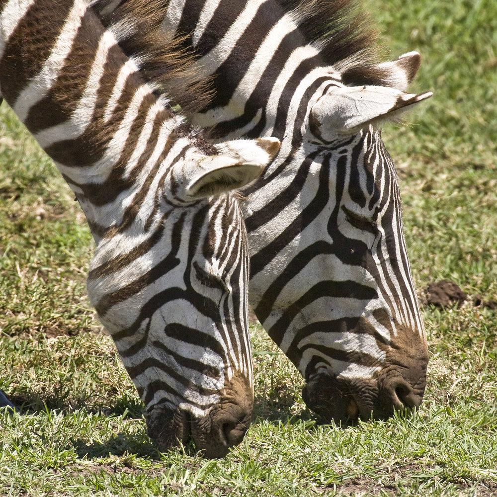 217NgoroCrater19_Zebras.jpg