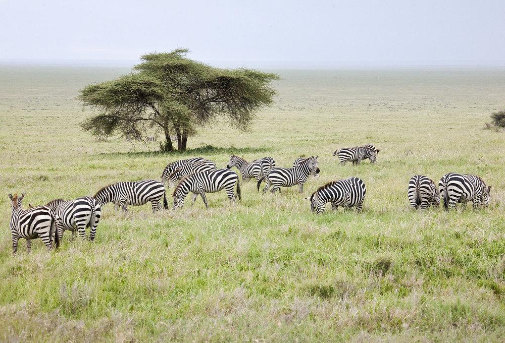 Serengeti Herd.jpg