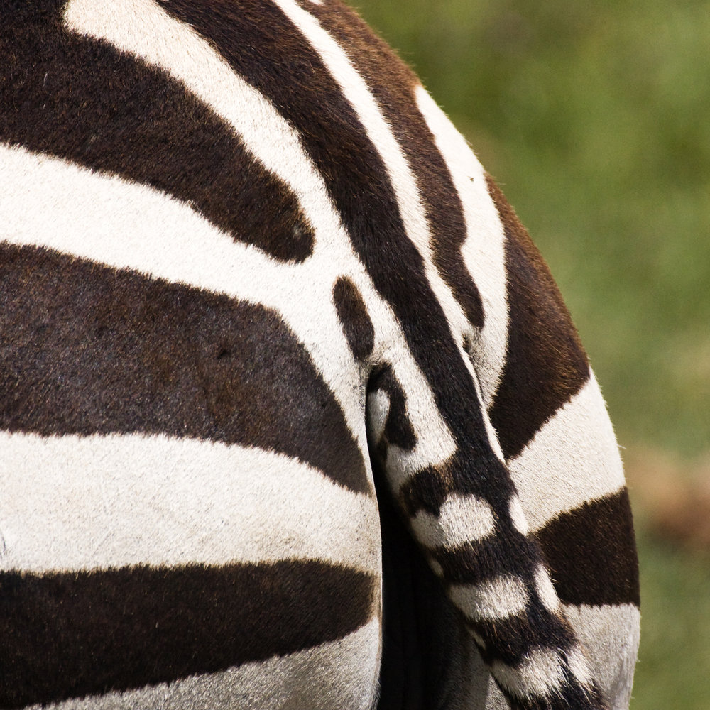 NgoroCrater21_Zebras_PRWF.jpg