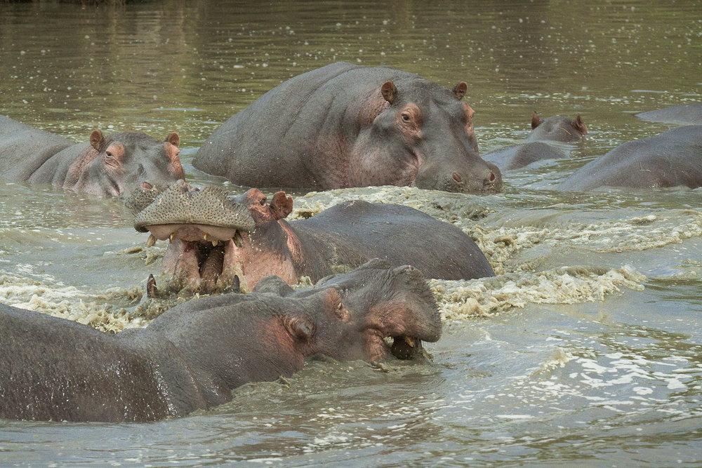 Hippos2.jpg