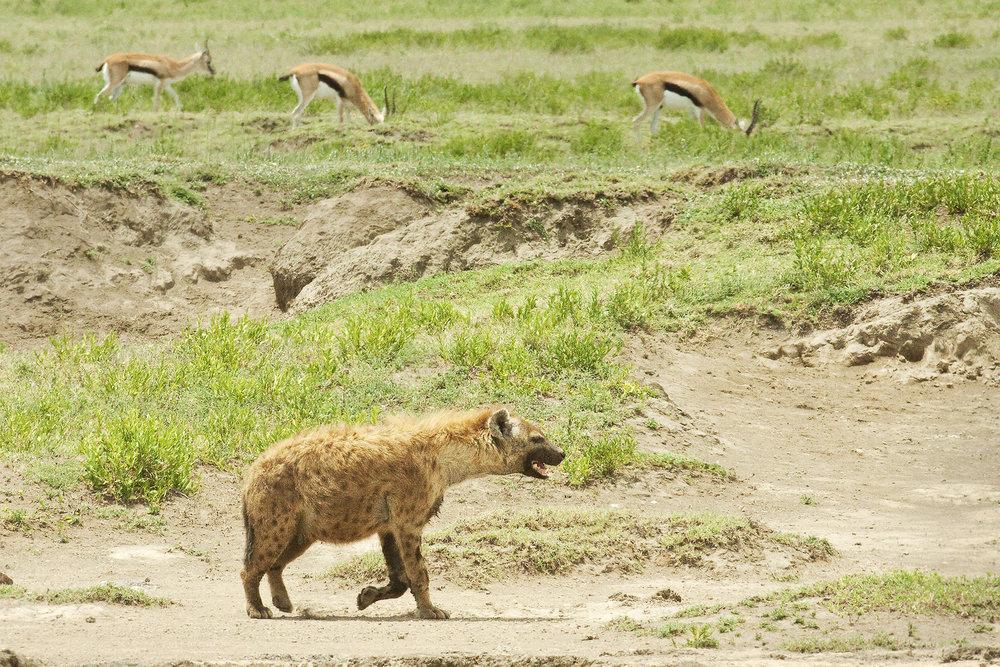 Spotted Hyena1.jpg