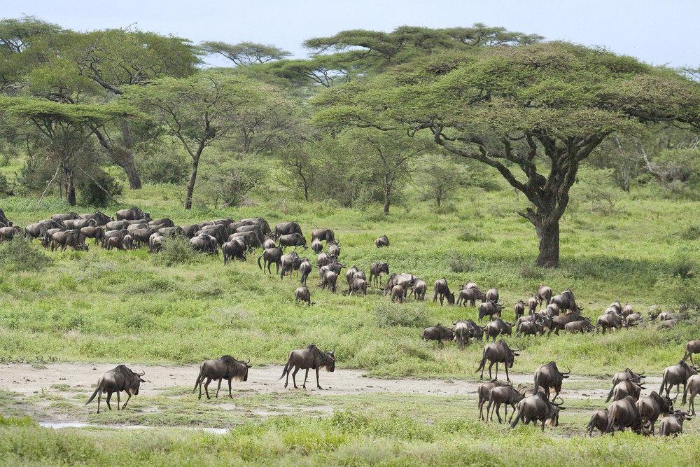 Wildebeests2.jpg