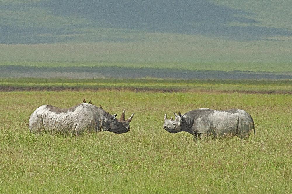 Black Rhino Pair.jpg