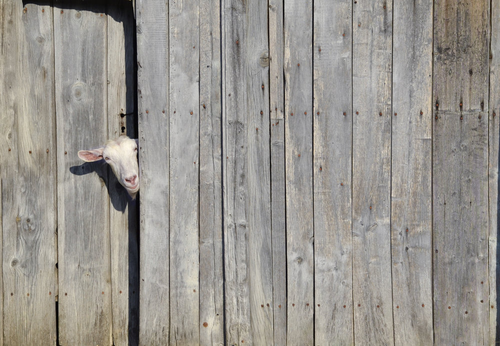 goat peek.jpg