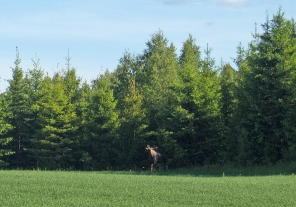 Our first Moose spotting! I'm sure we'll see many more.