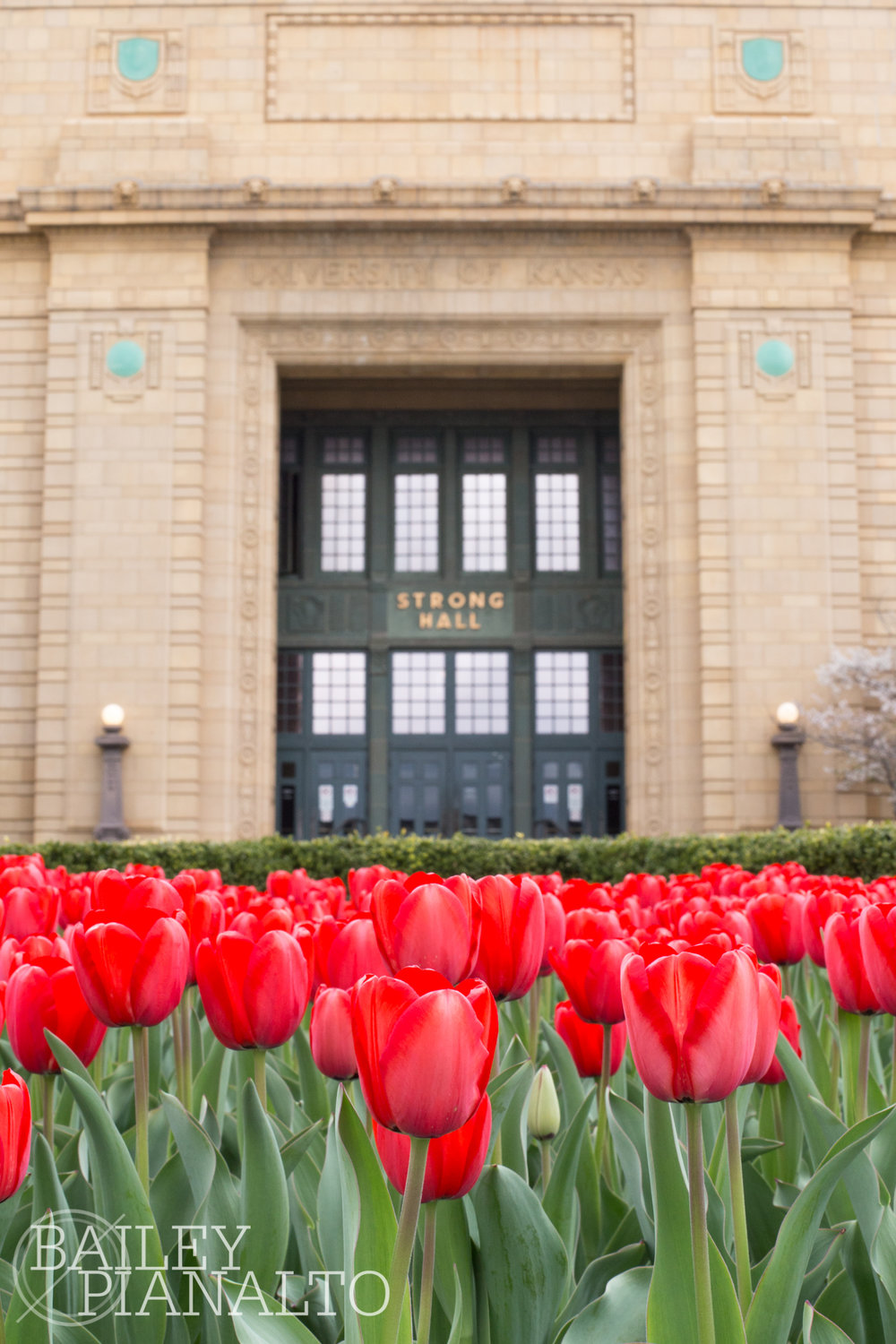 Tulips in full bloom outside Strong Hall on the KU campus.