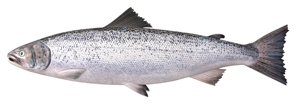 Atlantic Salmon White BG.jpg