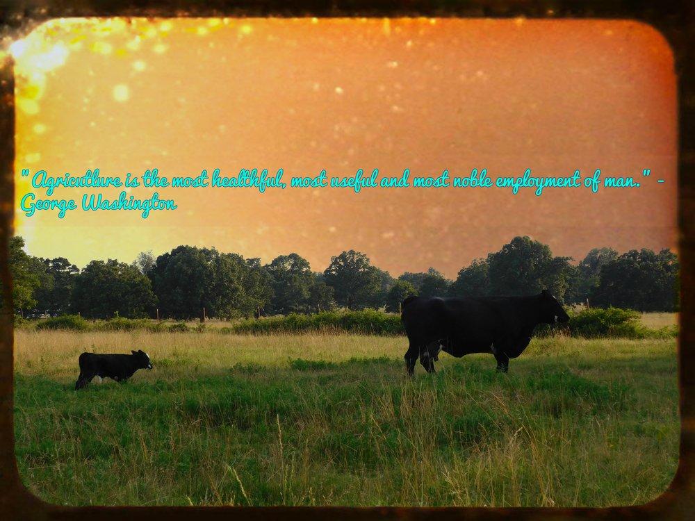cowss.jpg